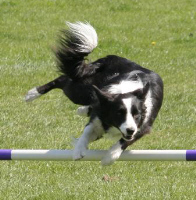 Agile Border Collie